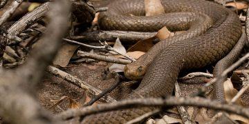 Serpent Brun - La Signification Et Le Symbolisme Des Rêves 22