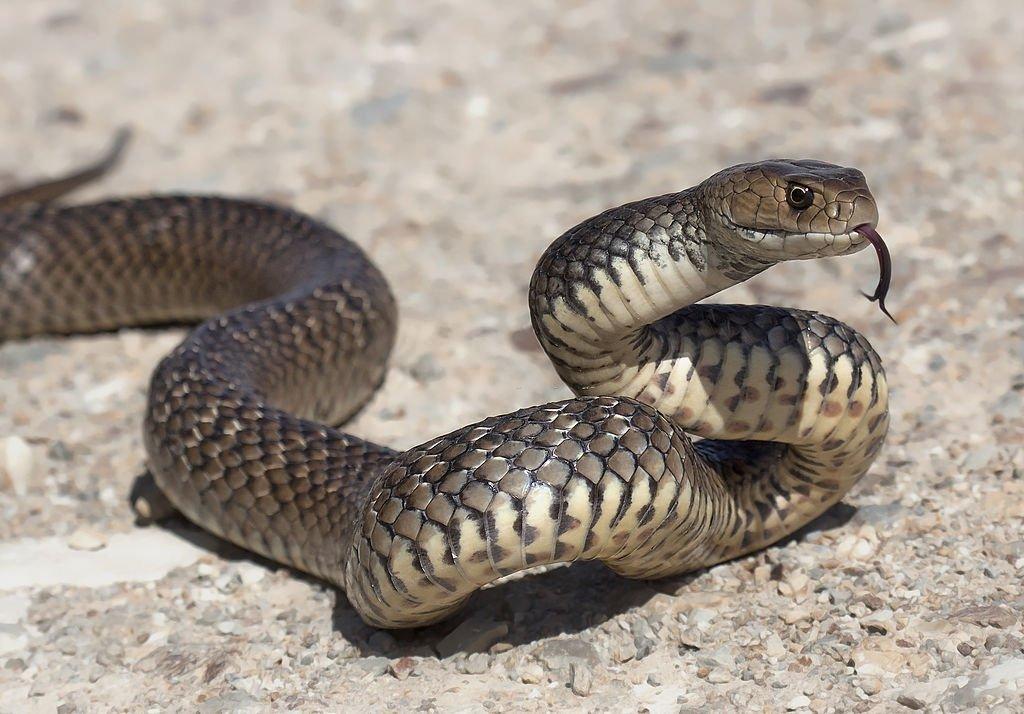Serpent Brun - La Signification Et Le Symbolisme Des Rêves 2